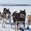 Alaska's Iditarod: A Look at its History and some Fun Facts You May Not Know